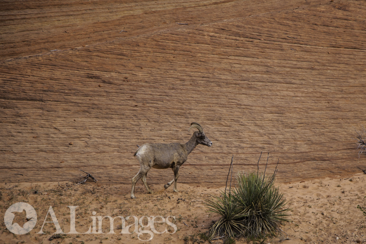 Female Bighorn Sheep - Zion National Park - ALimages 2016